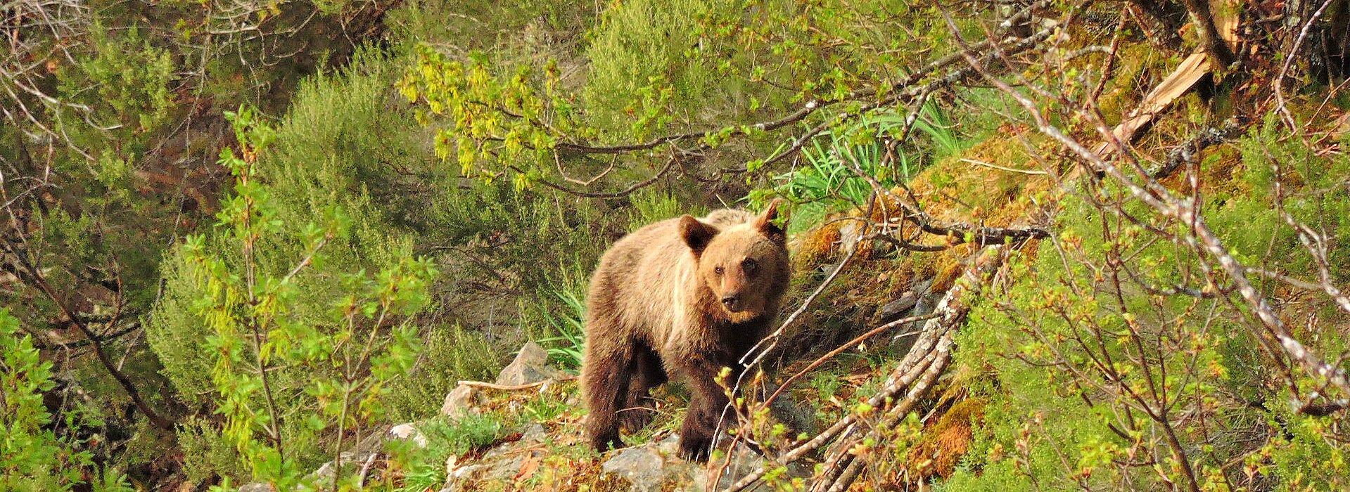⇝Con la mayor población de oso pardo de España⇜